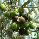 オリーブの木 苗木 【ルッカ】 2年生 ポット苗 オリーブ の 木 苗 シンボルツリー 生垣 庭木 植木 常緑樹