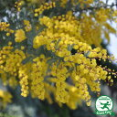 ミモザ アカシアプルプレア銀葉アカシア1.6m 鉢植え苗木 常緑樹 シンボルツリー 庭木 ゴールデンミモザ