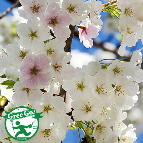 桜餅 縮まらぬ、距離を縮める、新幹線