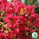 百日紅サルスベリ 赤花 あか5号ポット 苗 苗木 庭木 落葉樹