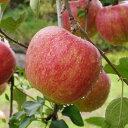 ◆予約販売(9月発送予定)◆ りんご 苗木 【シナノスイート】 3年生 接木 ポット苗 林檎 苗 果樹 果樹苗