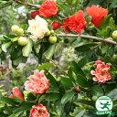 ザクロ 五彩榴 ( ゴサイリュウ )  柘榴 咲き分け品種