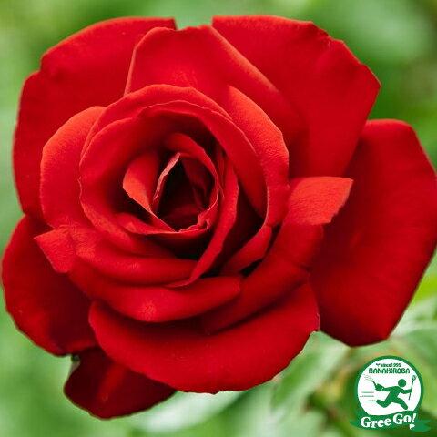 ◆予約販売(11月〜翌年1月発送)◆ バラ苗 【ダブリンベイ (CL) つるバラ 返り咲き】 2年生接木大苗 スリット 鉢植え 2年間植え替え不要 アーチ向け 薔薇 ローズ
