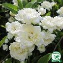 バラ苗 【モッコウバラ 白花(CL) つるバラ 一季咲き】 プラスチック鉢植えアーチ向け 薔薇 ローズ
