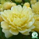 バラ苗 【モッコウバラ 黄花(CL) つるバラ 一季咲き】 プラスチック鉢植えアーチ向け 薔薇 ローズ