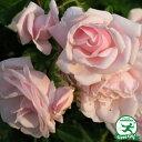RoomClip商品情報 - ◆訳あり アウトレット品◆ バラ 苗 【つるバラ ニュードン (CL) 返り咲き】 2年生 接ぎ木大苗 ニュードーン アーチ向け 薔薇 ローズ バラ の 苗