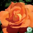 ◆送料無料◆ バラ 苗 栽培セット 【ルイドフィーネ (HT) 】 1年生 接ぎ木苗 3.5号 (10.5cm) ポット苗 苗木 栽培キット 薔薇 ローズ バラ の 苗 ※北海道・沖縄は送料無料適用外です。