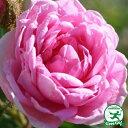 バラ 苗 【ロサケンティフォリア (old) 】 1年生 接ぎ木苗 3.5号 (10.5cm) ポット苗 薔薇 ローズ バラ の 苗