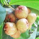 レンブ 苗 【レンブ (桃色)】 ポット苗 ワックスアップル 熱帯植物 トロピカルフルーツ 常緑 苗木 果樹 果樹苗