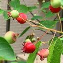 ジューンベリー 苗 【スィートバンビ】 挿し木 ポット苗 ベリー 苗木 シンボルツリー 落葉樹