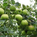 りんご 苗木 【YD(矮性台木) クッキングアップル ブラムリー】 1年生 接木 ポット苗 林檎 苗 果樹 果樹苗