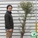 【オリーブの木】ミッション25年生苗ナーセリーポット植え(現品発送)【極太 原木オリーブ】【北海道、沖縄、離島不可】