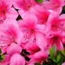 サツキツツジ 大盃 ( ピンク ) さつき 苗 4号 ポット サツキ 庭木 常緑樹 グランドカバー 低木 庭木 常緑樹