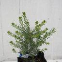 アカシア 苗 【ゴールデントップ】 0.3m ポット苗 苗木 庭木 シンボルツリー 目隠し 寄せ植え