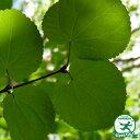 【カツラ】落葉樹 里山の木1年生実生苗自然派ガーデン 雑木の庭の木