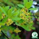 【黒文字 クロモジ】落葉樹 里山の木1年生実生苗自然派ガーデン 雑木の庭の木