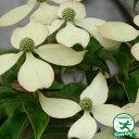 【ヤマボウシ 白花】落葉樹 里山の木1年生実生苗自然派ガーデン 雑木の庭の木