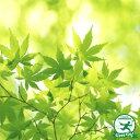 【イロハモミジ】落葉樹 里山の木1年生実生苗自然派ガーデン 雑木の庭の木