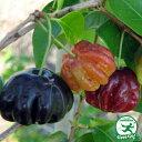 ピタンガ 苗 【マイアミブラック】 接ぎ木 ポット大苗 苗木 熱帯果樹 観葉植物