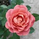 【C】【ミニバラ】テディベア3〜3,5号ポット【バラ苗】【薔薇】【人気品種】rv