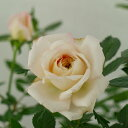 【C】【ミニバラ】パヒューマ・コルダーナ3〜3,5号ポット【バラ苗】【薔薇】rv