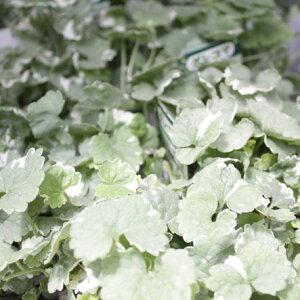 グレコマグレコマ ヘデラセア イングリッシュ ガーデン おすすめ グランド ガーデニング