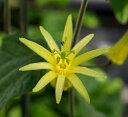花苗 トケイソウ(パッシフローラ) シトリナ 3号ポット 花色:黄 グリーンカーテン 緑のカーテン