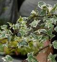 観葉植物 アイビー  ヘデラ  ニューミニシルバー 3号ポット苗 耐寒性 常緑つる性植物