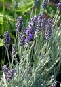 花苗 イングリッシュラ系 ウーリーラベンダー(ラベンダー ラナータ)3号ポット 花色 青 耐寒性 宿根草 多年草 香り