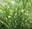 グラス類 ススキ(ミスカンサス) タカノハススキ 3.5号ポット 花苗 ガーデニング 寄せ植え カラーリーフ 耐寒性 宿根草 多年草 イングリッシュガーデン