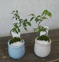 観葉植物 モダンミニ盆栽 ケヤキ 3号陶器鉢仕立て