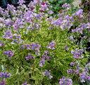 ●st宿根ネメシア斑入り フォーシーズン3号ポット苗明るい紫ピンクの花植えっぱなしで手間いらず