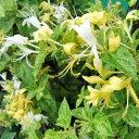 ロニセラミントクリスプ イングリッシュ ガーデン