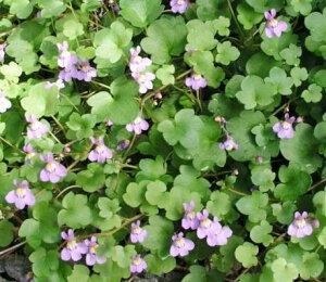 シンバラリア ムラリスコリセウムアイビー ワイルドアイビー イングリッシュ ガーデン おすすめ グランド ガーデニング