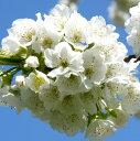 ●st2一才さくらんぼ暖地桜桃(支那実桜)4号ポット苗木【盆栽】【和風】