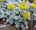 ミセバヤ ブランコ シラユキミセバヤ 多肉植物
