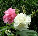 花木苗 スイフヨウ (酔芙蓉)  4,5号ポット 花色:白?ピンク 庭木 樹木 落葉中低木