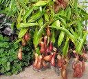 【H】【食虫植物】ウツボカズラネペンテス アラータ4号ポット