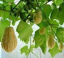 ☆●st【野菜苗】【グリーンカーテン】緑のカーテンハヤトウリ白実3,5号ポット苗