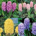【E】ヒヤシンス 3球植え4号ポット「紫・ピンク・黄・青・ミックス」の中からお選び下さい。