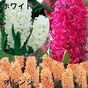 【E】ヒヤシンス 3球植え4号ポット「赤・白・オレンジ・ミックス」の中からお選び下さい。