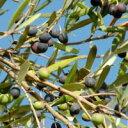 樹木苗 オリーブ新苗  マンザニロ  3,5号ポット 花色 白 耐寒性 常緑 小高木