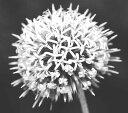 花苗 エキノプス  アーティックグロー 3,5号ポット苗 アークティックグロー 耐寒性 宿根草 多年草 切り花 ドライフラワー