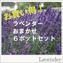 【INS】【セット】ラベンダーおまかせ6ポットセット3号ラベル苗【宿根草】【ハーブ】【香り】【ポプリ作り】
