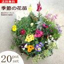 【送料無料】 季節の花苗 20ポットセット 花色ミックス ガーデニング 花壇 寄せ植え 春 夏 秋 冬