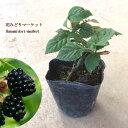 樹木苗 ブラックベリー 3号ポット キイチゴ 耐寒性 落葉低木 果樹苗