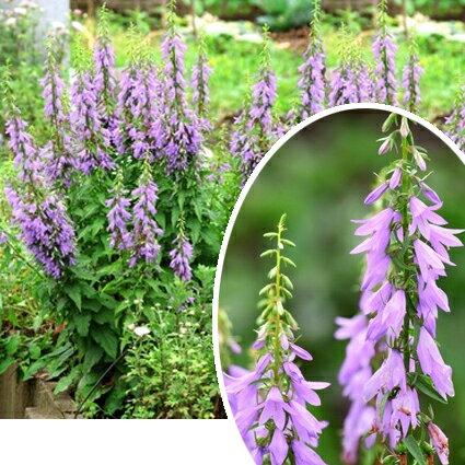 花苗 カンパニュラ ラプンクロイデス 3〜3,5号ポット 花色 紫 耐寒性多年草 切り花
