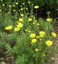 花苗 ダイヤーズカモミール 3号ポット花色 黄 ハーブ 宿根草 多年草 耐寒性 イングリッシュガーデン