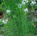 花苗 アムソニア  フブリクティ  3〜3,5号ポット 丁子草 チョウジソウ ちょうじそう 耐寒性 宿根草 イングリッシュガーデン