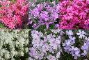 【P】【送料無料】芝桜 シバザクラ 3号ポット苗 花色いろいろミックス 24ポットセット